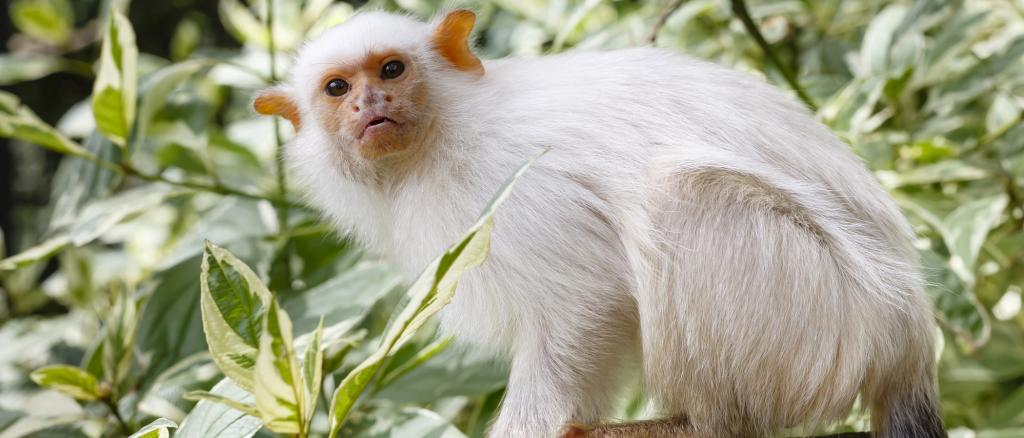 A Silvery Marmoset, related to the newly-found marmoset in Brazil's Para state. Photo: Getty Images
