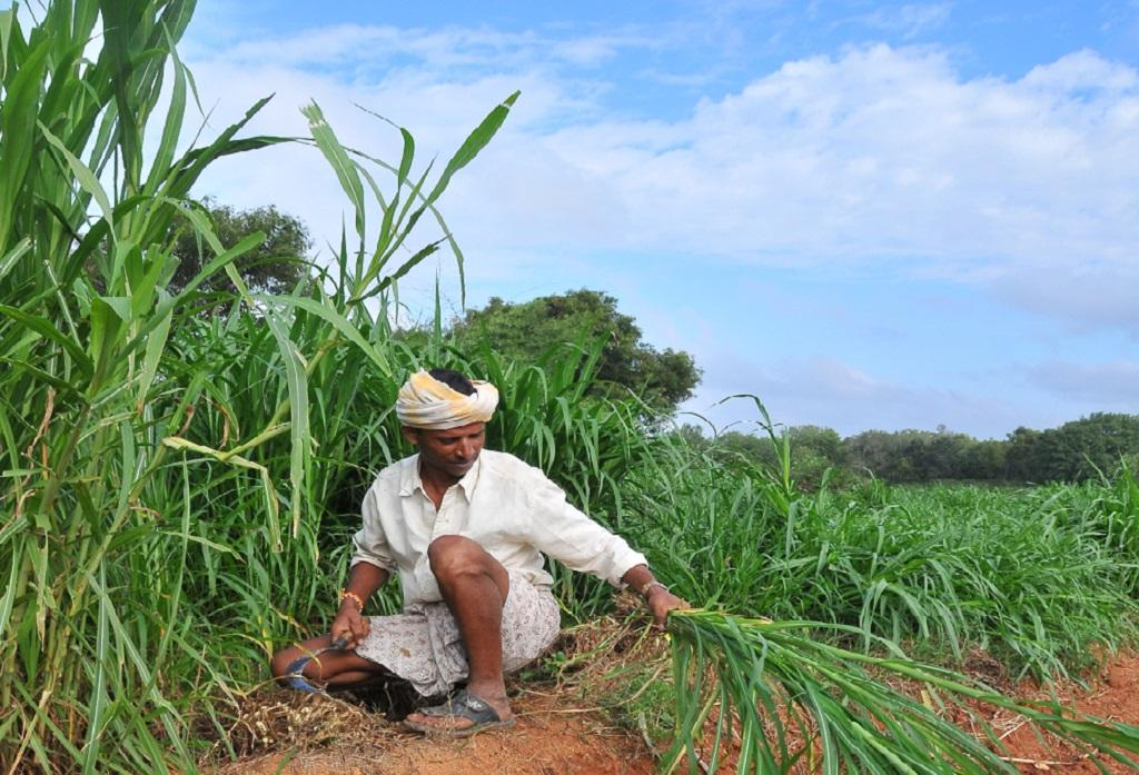 खेत से गन्ने की फसल काटता किसान। Photo: Meeta Ahlawat