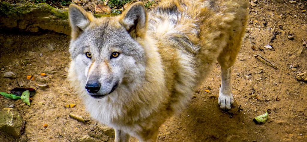 The Himalayan Wolf is a unique lineage of wolves found across the Himalayas, the Tibetan Plateau and Inner Asia. Photo: Getty Images