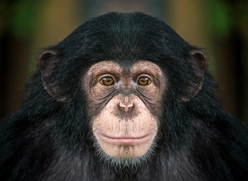 Chimpanzees are one of our closest relatives. Photo: Getty Images