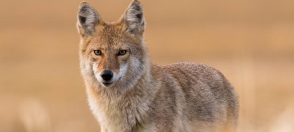 M-44 traps, which spray cyanide on animals when activated, are used to kill coyotes and other livestock predators. Photo: Getty Images