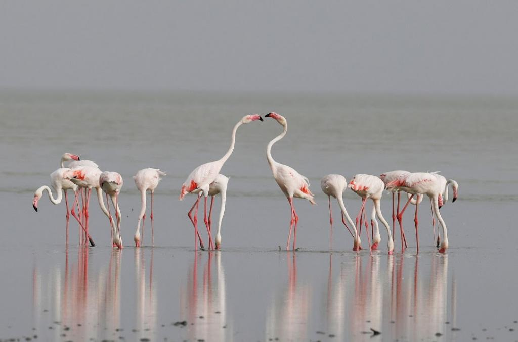 Every year, lesser and greater flamingos turn up in thousands at Rajasthan's Sambhar salt lake between the months of June and November. These migratory birds come here in search of food. But lately the pollution caused by illegal salt-making units has reduced the number of these birds coming to the saline lake. Photo: Vikas Choudhary