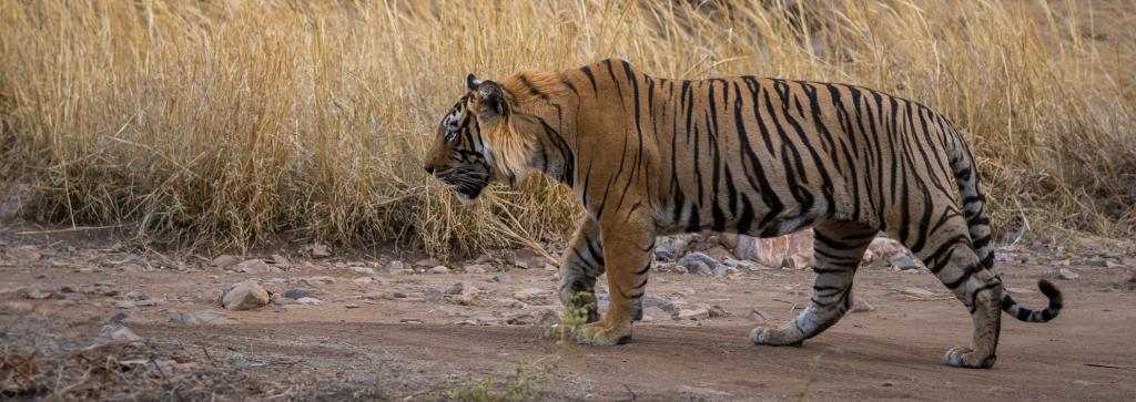 On an average, 124 tigers were poached every year between 2000 and 2018 for their body parts, says a new report. Photo: Getty Images