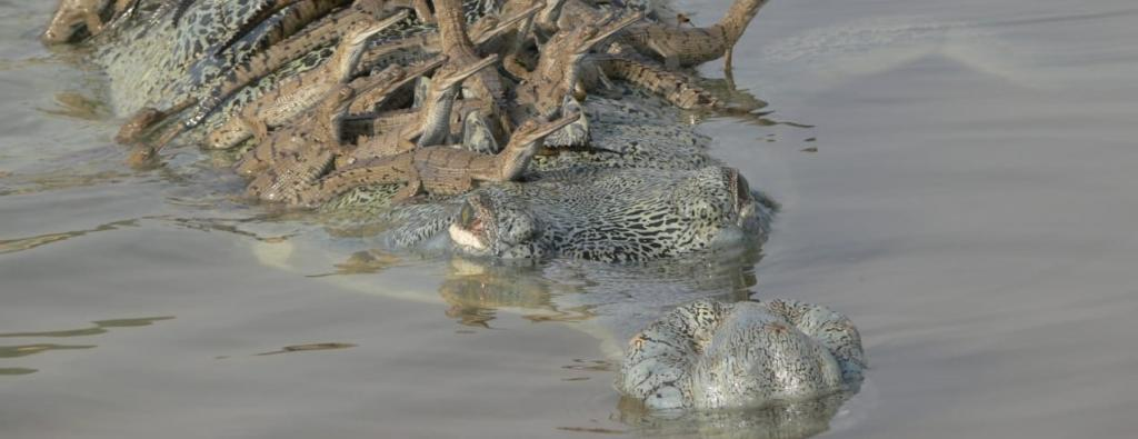 Over 5,000 baby gharials have been born in the National Chambal Sanctuary in a conservation success. Here a female gharial guides her babies towards a nursery. Photo: Rohit Ghosh