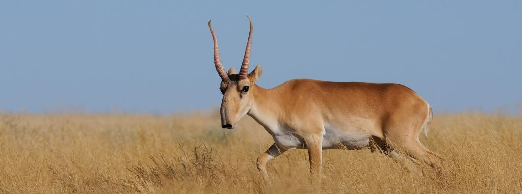A proposal to include the saiga antelope in Appendix I of CITES was not accepted on August 22. Photo: Getty Images