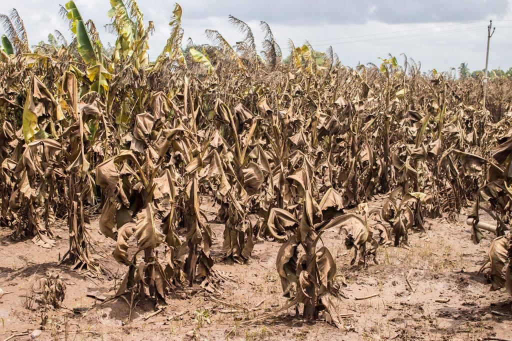 The crop of local bananas in the field was completely destroyed by the flood. Photo: Sanket Jain