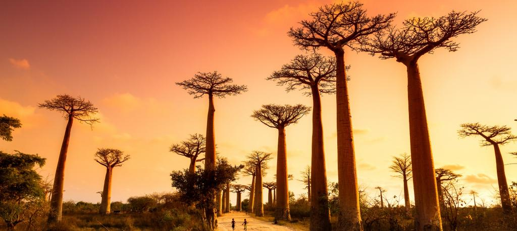 Baobabs in Madagascar. Plant extinctions have skyrocketed, driven in large part by land clearing and climate change. Photo: Getty Images