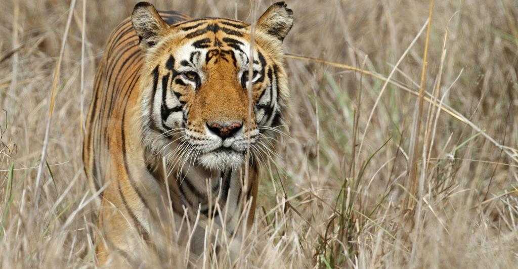 Officials at Bihar's Valmiki Tiger Reserve are working on increasing the grassland cover in the reserve. Photo: Getty Images