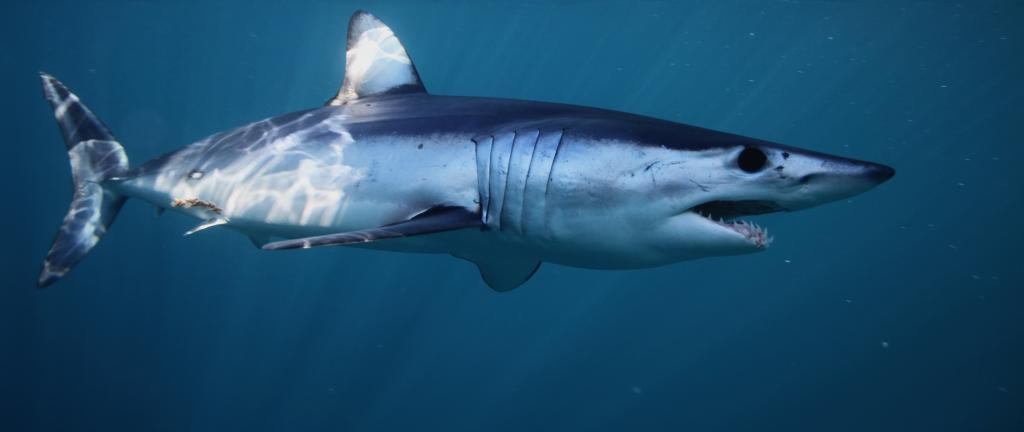 Two species of sharks, six species of giant guitarfish and 10 species of wedgefish were included in Appendix II of CITES at the ongoing CoP in Geneva. Photo: Getty Images