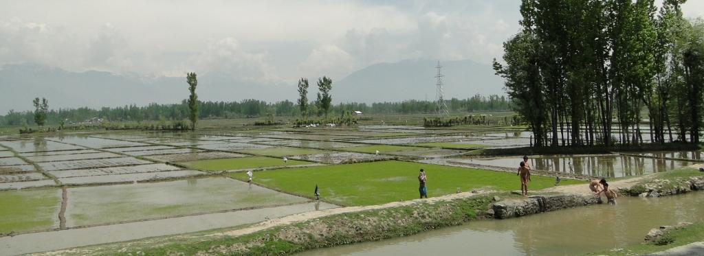 Rice paddies near Srinagar, Kashmir Valley. Over the past few years, rice production has declined in the valley, with more farmers switching to horticulture.  Photo: Wikimedia Commons