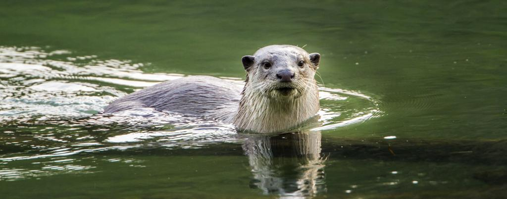 The Asian smooth coated otter, like this one in Bardia National Park, Nepal and the Asian small clawed otter have been included in Appendix I of CITES on August 26. Photo: Getty Images