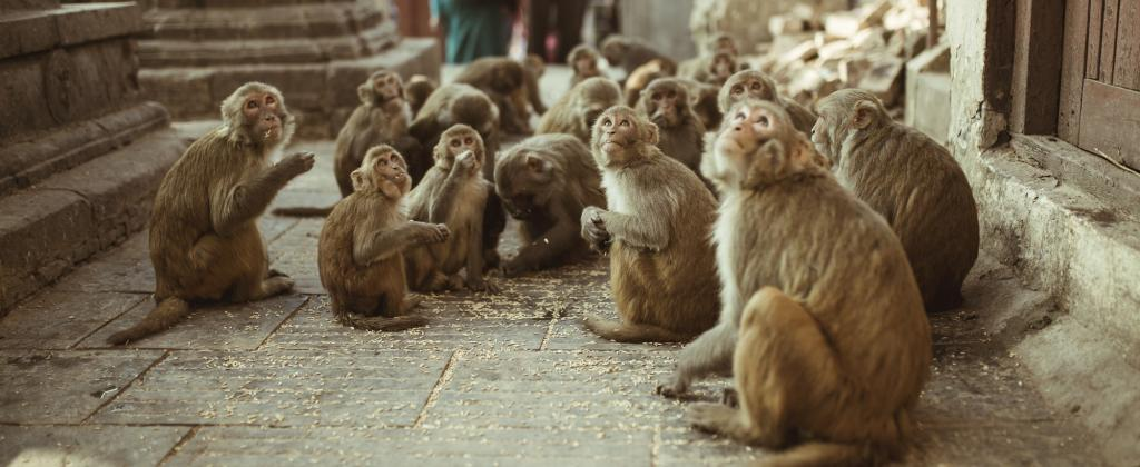Farmers in Himachal Pradesh have now taken to poisoning monkeys. Photo: Getty Images