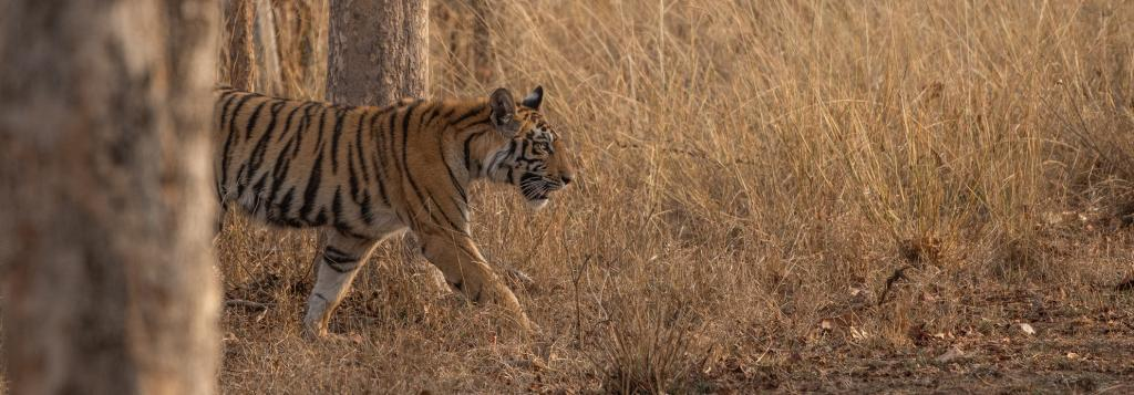 Bihar is planning another tiger reserve in Kaimur as its sole reserve, Valmiki, is reaching saturation level. Photo: Getty Images