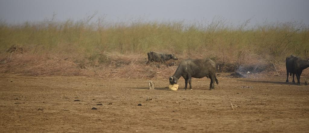 Repeated overgrazing has significantly contributed to degradation of land in Gujarat. Photo: Adithyan PC