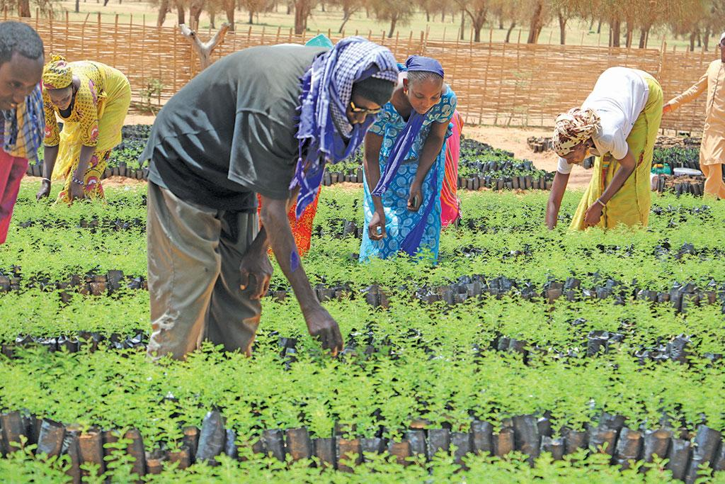 Plants being grown for the Great Green Wall initiative in Senegal. The plantation programme succeeded only after the livelihood of communities were ensured through it