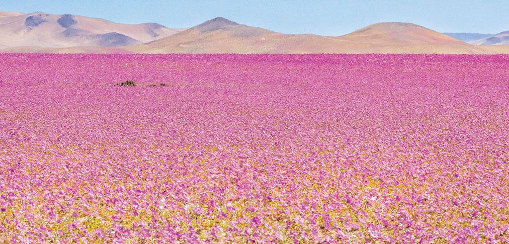 The Atacama desert in Chile witnessed a major bloom in August 2017 after a rare rain brought dormant seeds alive