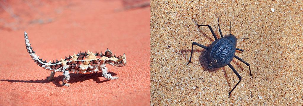 (left)  Thorny devil, a lizard endemic to Australia, has evolved to collect dew on its body and drink as it trickles to its mouth (right)  Darkling beetles of Africa's Namib Desert have the unique ability to extract water from fog