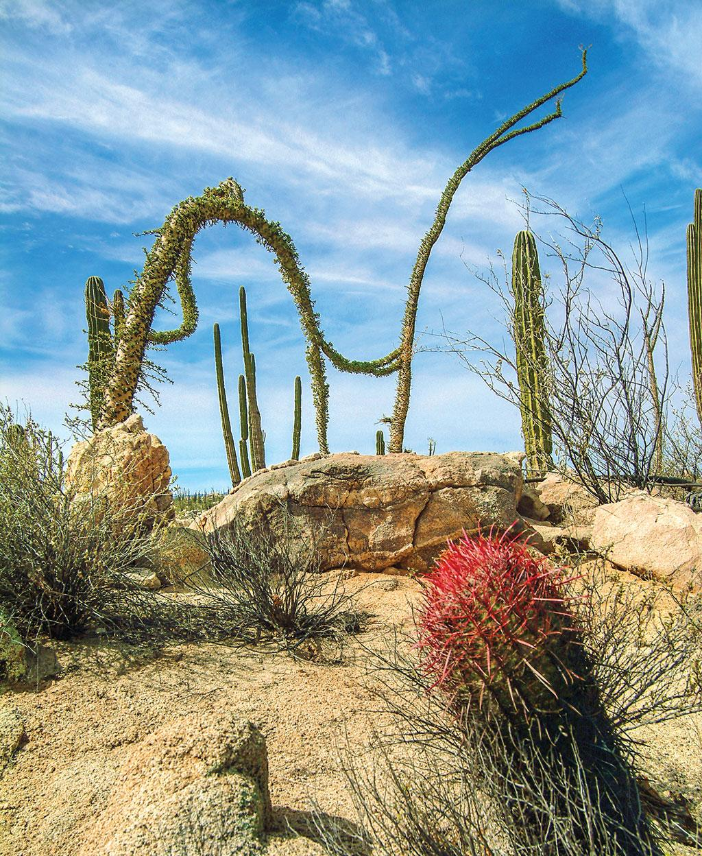 Boojum cactus of the Sonoran desert in North America takes unique shapes due to its spongy trunk that stores water