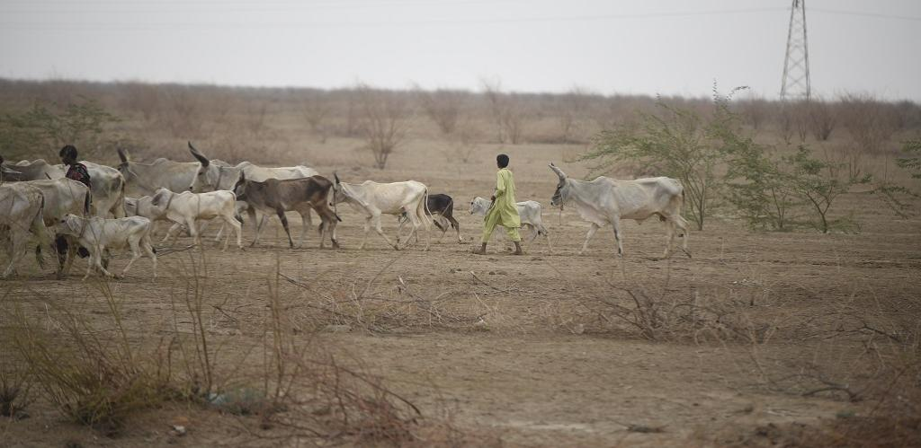 Overgrazing and encroachment of grassland for agricultural activities have also led to desertification in Gujarat. Photo: Adithyan PC