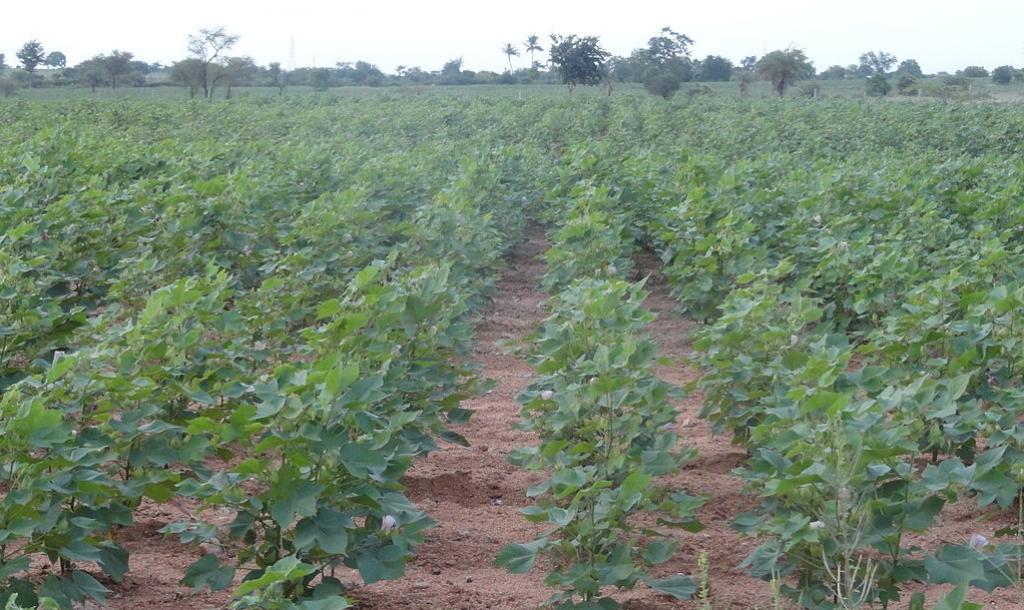 A Bt cotton farm in Andhra Pradesh. Photo: Bhaskaranaidu/Wikimedia Commons