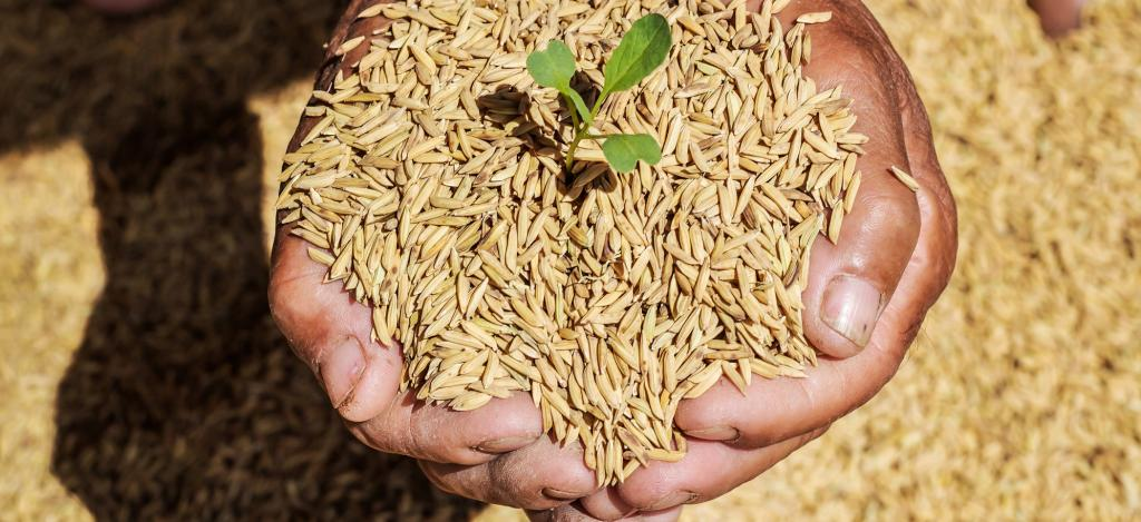 Raw rice in a farmer's hand. Photo: Getty Images