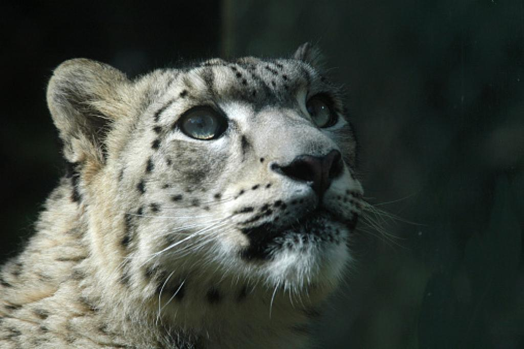 Snow leopards are currently found in only 12 countries in the world, including India. Photo: Getty Images