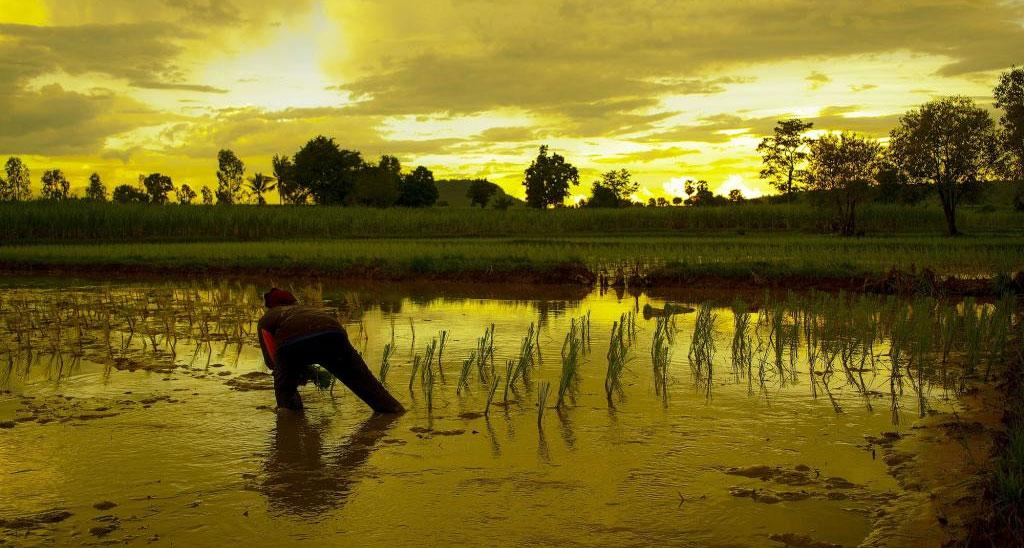 Flood-resistant rice can boost yield during normal years also and is a form of climate adaptation. Photo: Getty Images