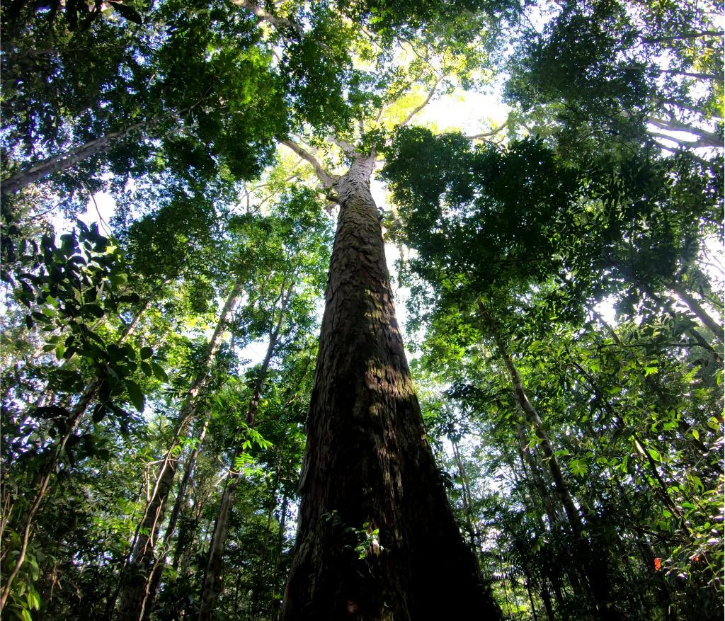 The Amazon's new record-breaking tree. Tobias Jackson, Author provided