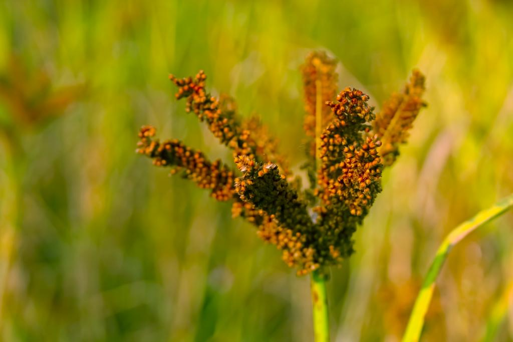Millets like ragi are showing up on our food market shelves. Photo: Getty Images
