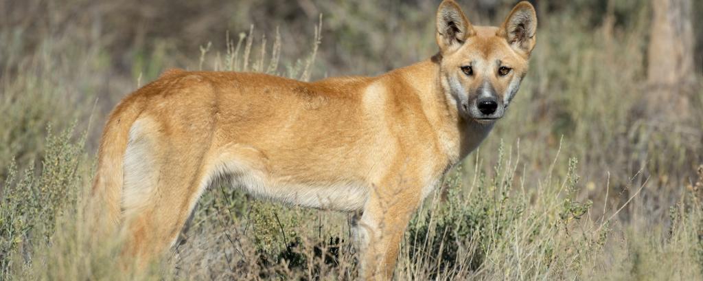 A dingo. Photo: Getty Images