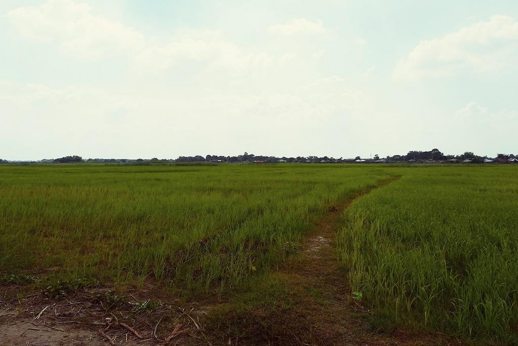 बिहार के सुपौल में लगी धान की फसल। फोटो: Umesh Kumar Ray