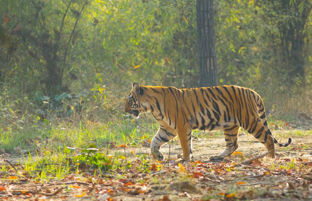 A tiger killed a paddy farmer near the Valmiki Tiger Reserve in Bihar on September 24, 2019. Photo: Wikimedia Commons