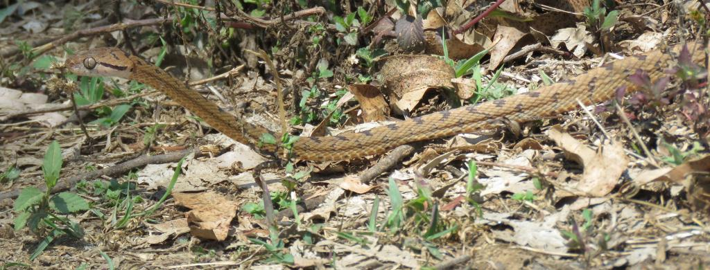 A Cat Snake near Coimbatore. Photo: Wikimedia Commons