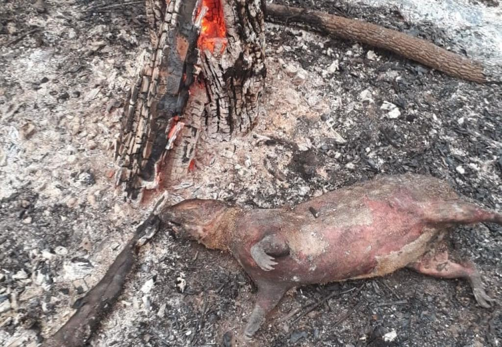 The recent Amazon fires, which devastated huge swathes of the world's largest rainforest, took a toll on the ecosystem's animal life like this dead pig in the municipality of Lucas do Rio Verde on August 20. Photo: Corpo de Bombeiros Militar do Estado de Mato Grosso