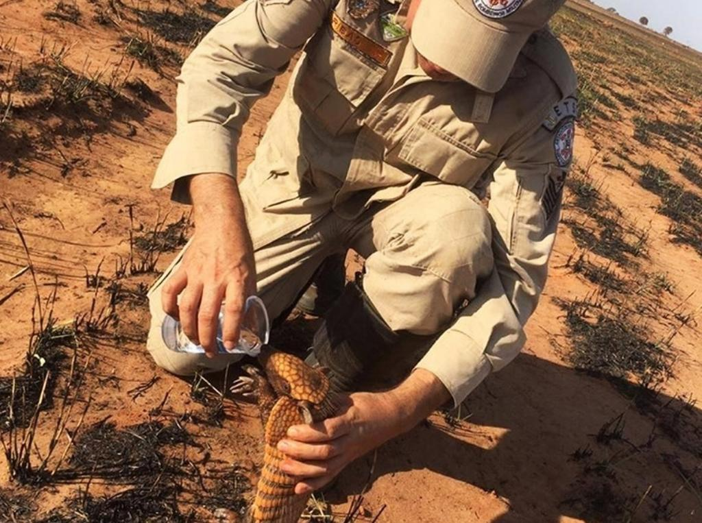 Firefighters and volunteers have been rescuing stricken animals. Here, a firefighter gives water to an armadillo puppy in a devastated field. Photo: Corpo de Bombeiros de Mato Grosso