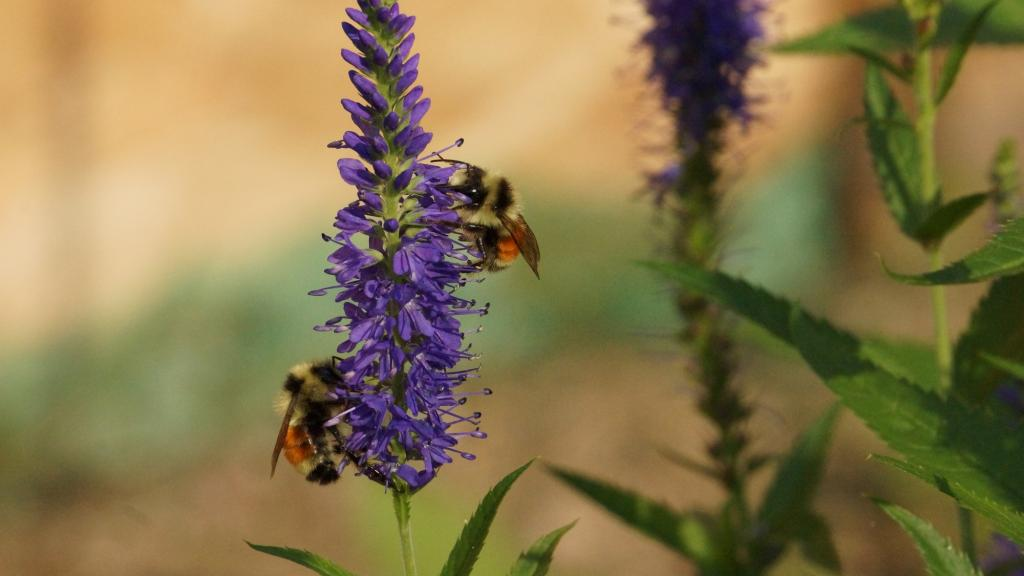 Most bee species globally, including in North America are declining due to anthropogenic activities. Photo: Heidi Selzler