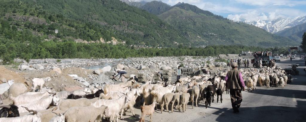 Bakarwal nomads herd and move along with their flocks on the Manali-Leh Highway. Photo: Wikimedia Commons