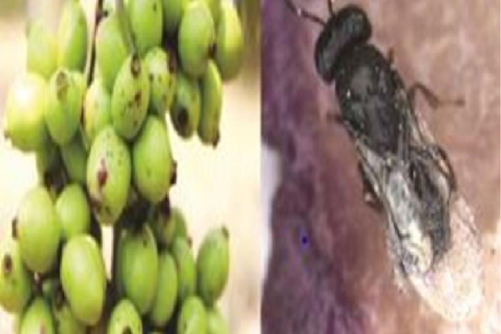 कीटों से ग्रस्त फलों पर उभरते लक्षण और जामुन के फल पर अनसेल्मेला केरची। फोटो: साइंस वायर