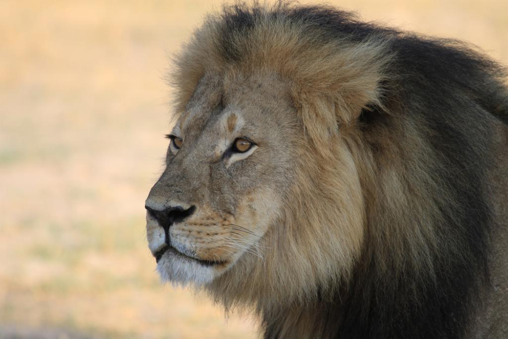 Cecile the lion. Photo: Shutterstock / Paula French / The Conversation