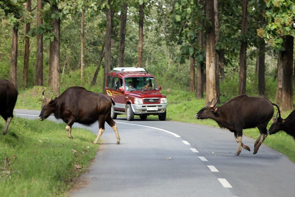 केरल के वायनाड को कर्नाटक से जोड़ने वाले मनंथावड़ी-कुट्टा राजमार्ग से गुजरते वन्य जीव। फोटो: धनेश भास्कर