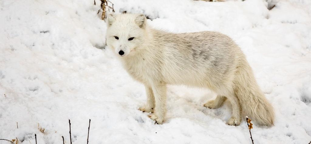 Arctic Fox. Photo: Getty Images