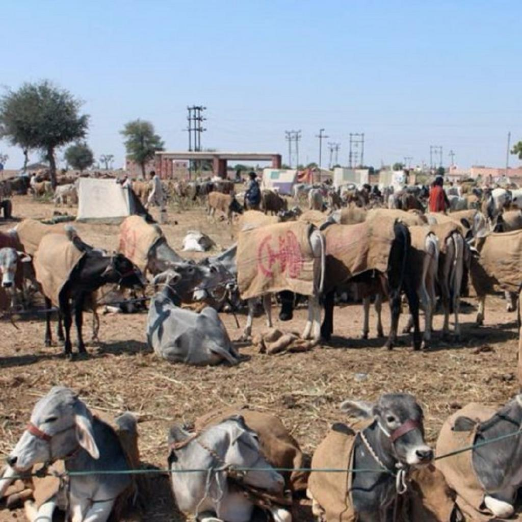 The Nagaur cattle mela in Rajasthan. Photo: https://www.ohmyrajasthan.com/