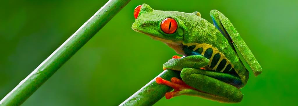 Red-eyed tree frog. Photo: Andy Morffew/Wikimedia Commons, CC BY-SA