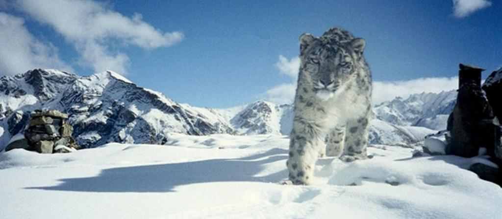 A snow leopards in Hemis National Park in Ladakh. Photo: Wikipedia Commons