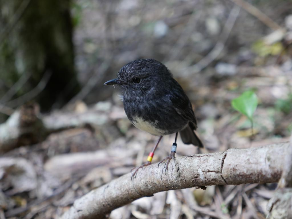 The New Zealand robin is a small and ordinary-looking songbird, but it can take down enormous invertebrate prey and hide morsels for later consumption. Photo: Supplied, CC BY-ND