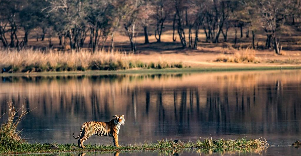 A tiger in Ranthambhore Tiger Reserve. Photo: Getty Images