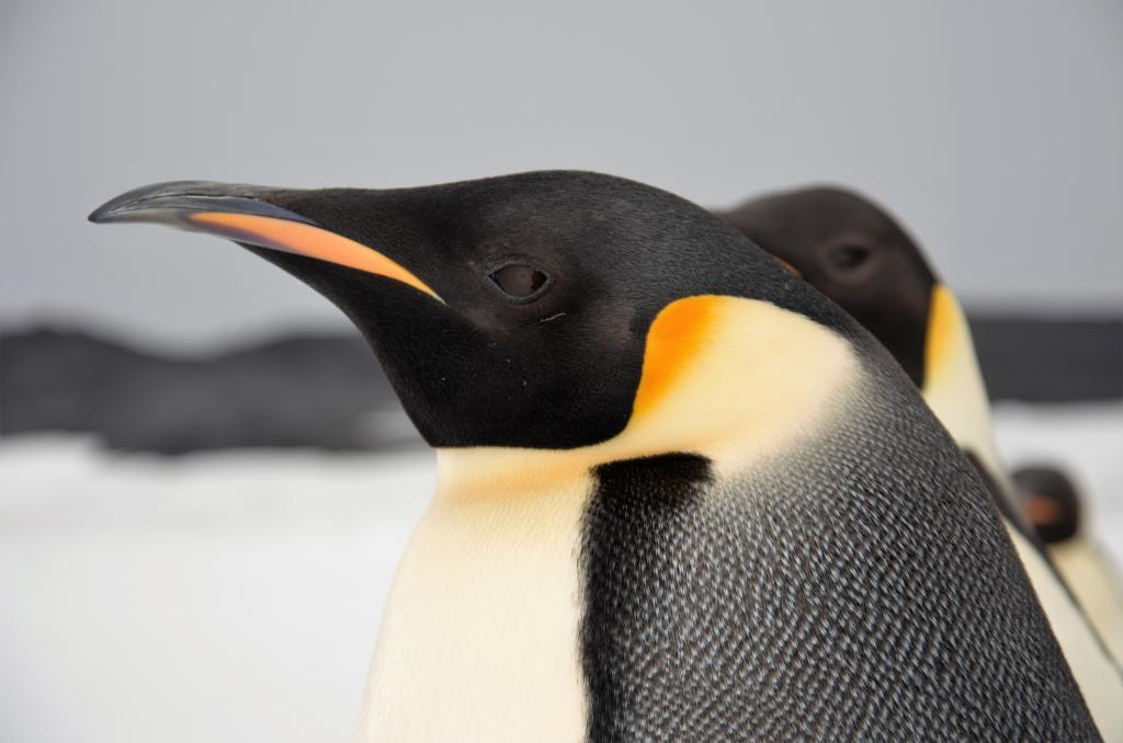 Emperor penguin. Photo: Getty Images