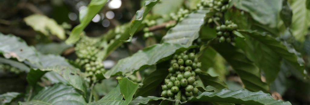 Coffee. Photo: Srikant Chaudhary