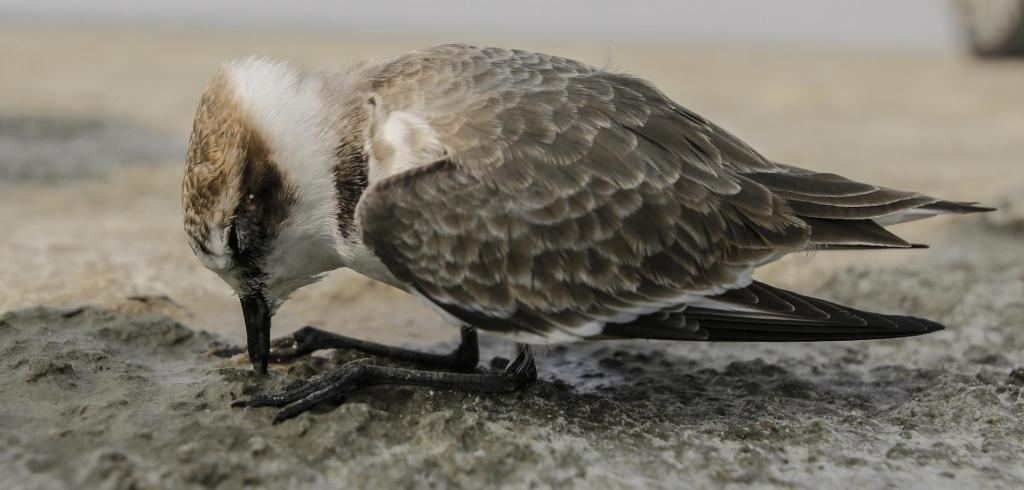 At least 20-25 birds have also been found alive but in a critical condition like this plover. They are being attended to by the forest department. Photo by Vikas Choudhary