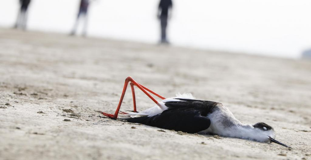 On November 10, 2019, tourists visiting Sambhar lake in Rajasthan's Jaipur district, made a grisly discovery. Thousands of dead birds like this black winged stilt. Photo by Vikas Choudhary